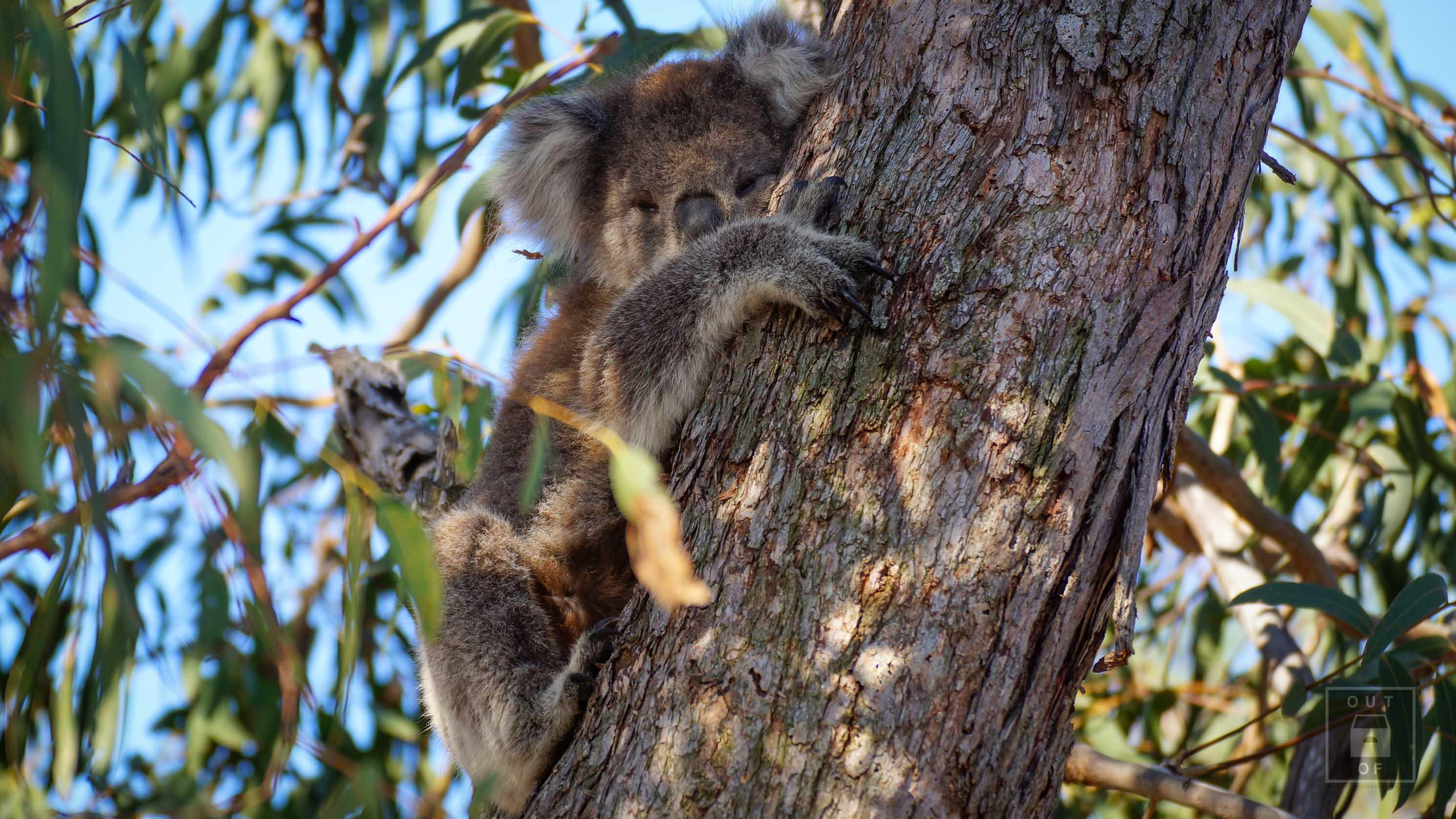 Höchster Berg Australiens, Schnee und Koalas