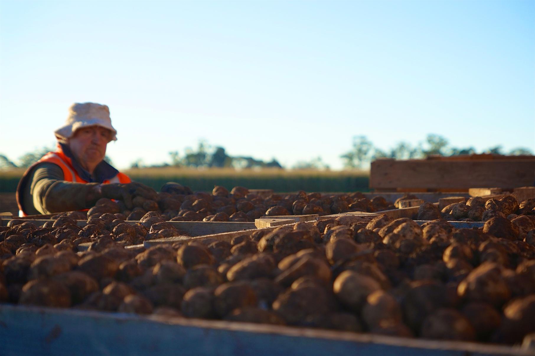 Kartoffeln, Apern, Erdäpfel und Pommes de Terre